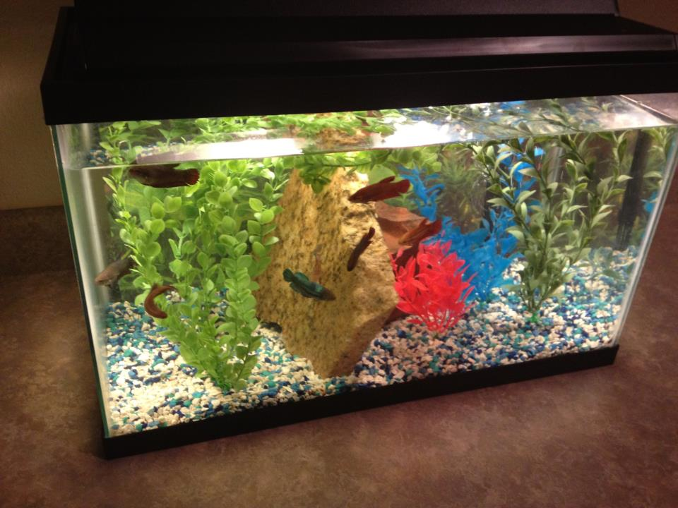 Download Betta Fish Tank Screensaver at Free Download 64